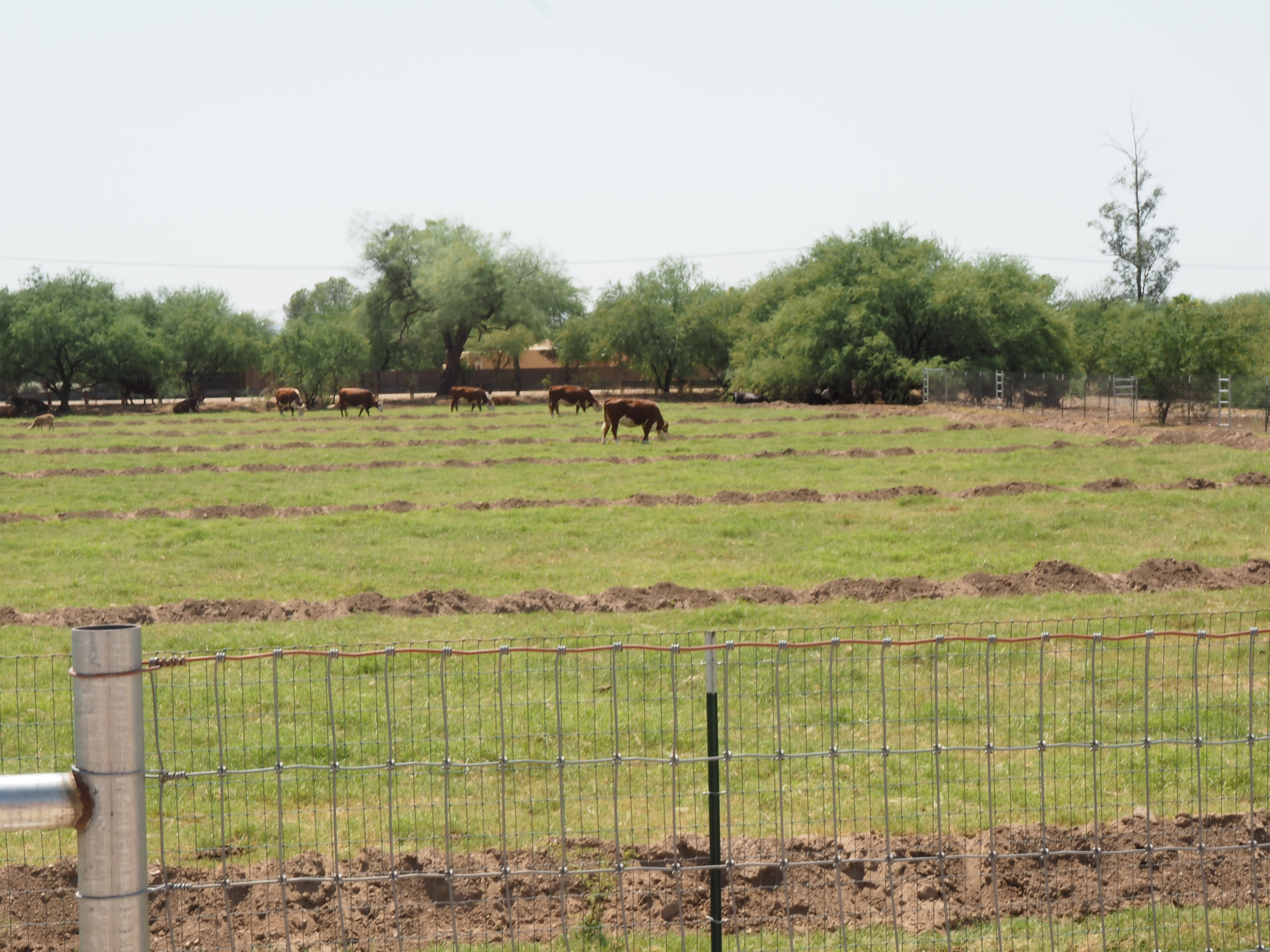 Cows Default News Photo Image